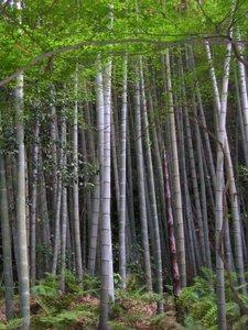 Moso Bamboo (Phyllostachys edulis)