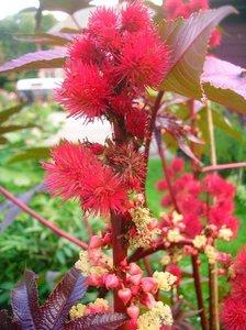 Castor Bean (Ricinus communis)