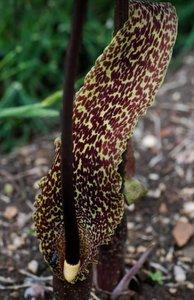 Voodoo Lily (Typhonium venosum)