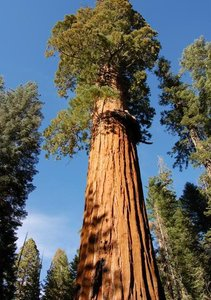 Giant Redwood (Sequoiadendron giganteum)