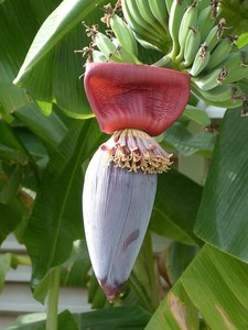 Sweet Wild Banana (Musa balbisiana)