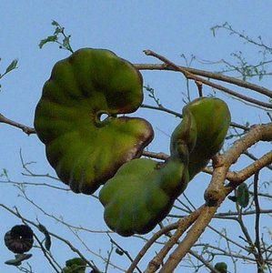 Elephant-ear Tree (Enterolobium cyclocarpum)