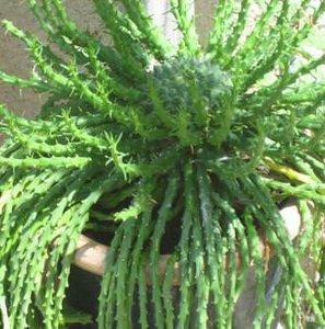 Medusa's Head (Euphorbia caput-medusae)