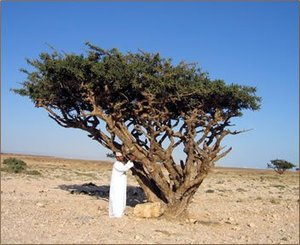 Frankincense Tree (Boswellia sacra)