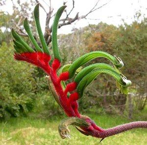 Red-green Kangaroo Paw (Anigozanthos manglesii)