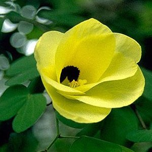 Yellow Bauhinia (Bauhinia tomentosa)