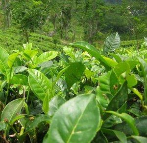 Tea Plant (Camellia sinensis)