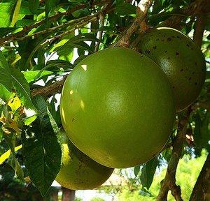 Calabash Tree (Crescentia cujete)
