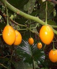 Yellow Tamarillo (Cyphomandra betacea 'yellow')