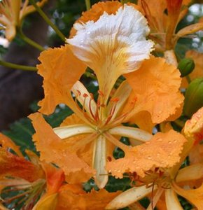 Orange Flamboyant (Delonix regia 'orange')