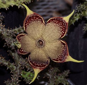 Persian Carpet Flower (Edithcolea grandis)