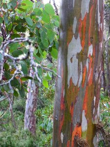 Tasmanian Snow Gum (Eucalyptus coccifera)