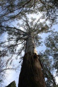 Giant Ash (Eucalyptus regnans)