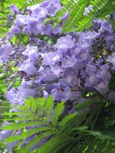 Blue Jacaranda (Jacaranda mimosifolia)