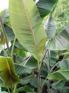 Helens Banana (Musa sp. 'Helens Hybrid')