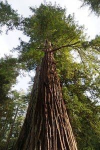 Coastal Redwood (Sequoia sempervirens)