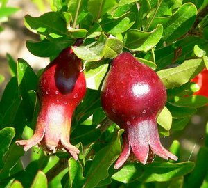 Dwarf Pomegranate (Punica granatum 'nana')