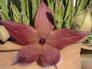 Giant Carrion Flower (Stapelia grandiflora)