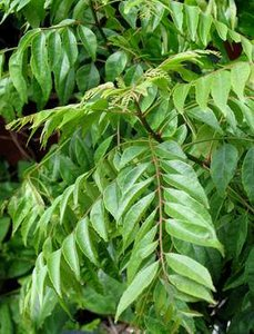 Curry Tree (Murraya koenigii)