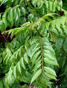 Curry Tree (Murraya koenigii)