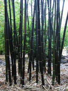 Timor Black Bamboo (Bambusa lako)
