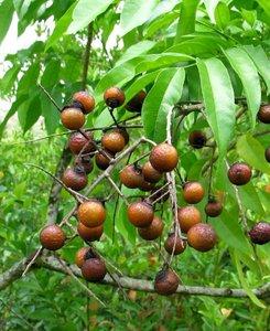 Soapberry (Sapindus saponaria)