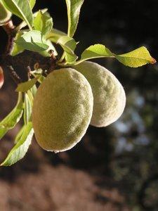 Almond (Prunus dulcis var. dulcis)