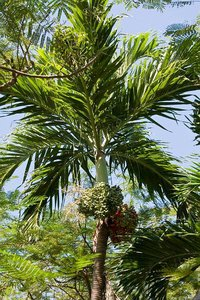 Manila Palm (Veitchia merrillii)