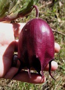 Bell Stapelia (Stapelia leendertziae)