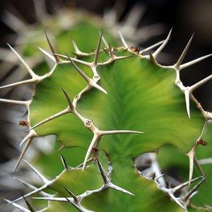 Cow's Horn Euphorbia (Euphorbia grandicornis)