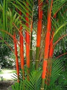 Lipstick Palm (Cyrtostachys renda)