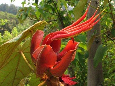 Monkey's Hand Tree (Chiranthodendron pentadactylon)