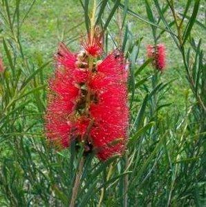 Scarlet Bottlebrush (Callistemon phoeniceus)