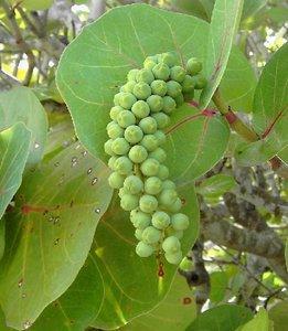 Seagrape (Coccoloba uvifera)