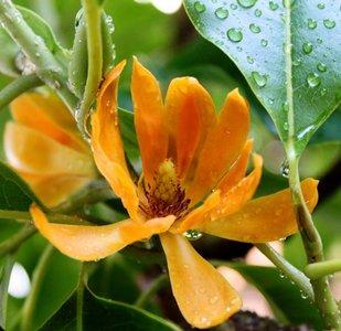 Golden Champaca (Magnolia champaca)