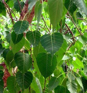 Bodhi Tree (Ficus religiosa)