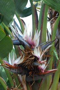 Giant White Bird of Paradise Flower (Strelitzia nicolai)