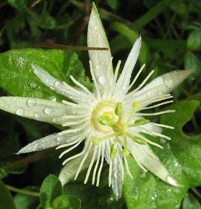 Passionflower (Passiflora capsularis)