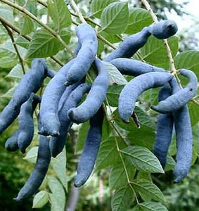 Blue Sausage Shrub (Decaisnea fargesii)