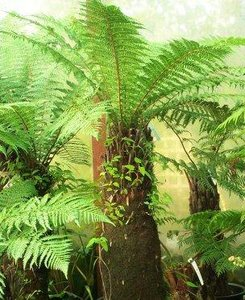 Golden Tree Fern (Dicksonia fibrosa)