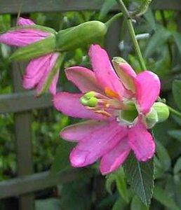 Passionflower (Passiflora matthewsii)