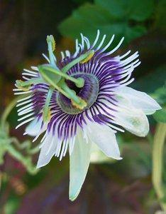 Woodland Passionflower (Passiflora morifolia)