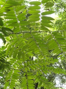 Chinese Toon (Toona sinensis)