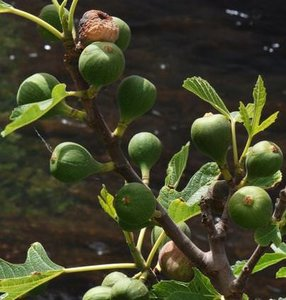 Common Fig (Ficus carica)