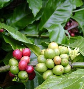 Robusta Coffee (Coffea canephora)