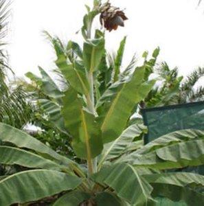 Kluay Pa Banana (Ensete sp. 'Kluay Pa')
