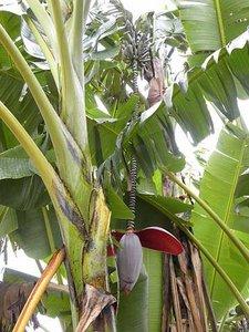 Thomson Banana (Musa thomsonii)