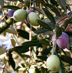 European Olive (Olea europaea)