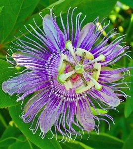 Maypop Passionflower (Passiflora incarnata)