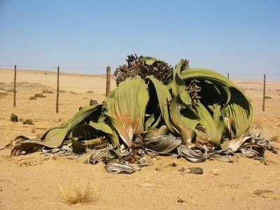 Welwitschia (Welwitschia mirabilis)
